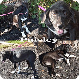 Labrador Retriever Mix Dog for adoption in Union City, Tennessee - Paisley