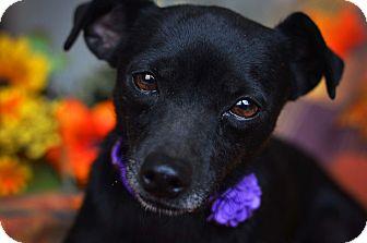 Miniature Pinscher Mix Dog for adoption in Staunton, Virginia - Eliza