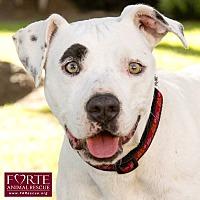 American Staffordshire Terrier/Pointer Mix Dog for adoption in Marina del Rey, California - Petunia