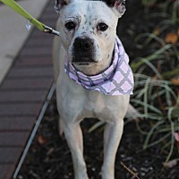 Adopt A Pet :: Bella *Overlooked* - Manassas, VA