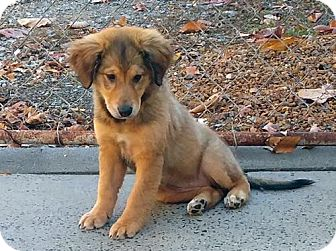 Collie/Shepherd (Unknown Type) Mix Puppy for adoption in Washington, D.C. - Lucy