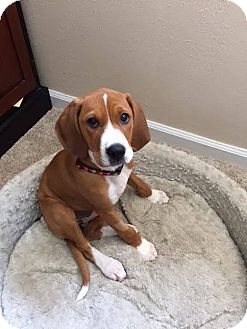 Coonhound (Unknown Type) Mix Puppy for adoption in Meridian, Idaho - Ann