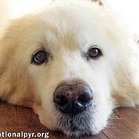 Adopt A Pet :: Snow - Beacon, NY