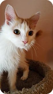 Domestic Longhair Cat for adoption in Hazel Park, Michigan - Zoey