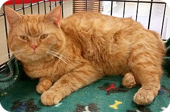 British Shorthair Cat for adoption in Concord, North Carolina - Ginger