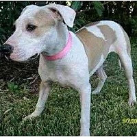 American Bulldog/American Pit Bull Terrier Mix Dog for adoption in Houston, Texas - Abba