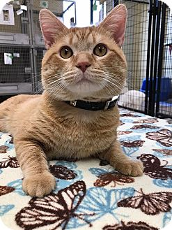 Domestic Shorthair Cat for adoption in Maryville, Missouri - Spencer