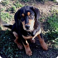 Adopt A Pet :: Sarge - Rancho Cucamonga, CA