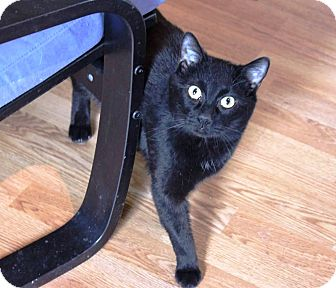Domestic Shorthair Cat for adoption in Putnam, Connecticut - Buster