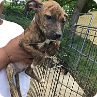 Adopt A Pet :: Helga - Danbury, CT
