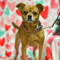 Chihuahua Mix Dog for adoption in Madison, Wisconsin - Carlotta