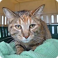 Adopt A Pet :: Butterball *DECLAWED* - Livonia, MI