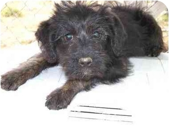 Marlin Adopted Puppy Sealy Tx Poodle Miniature