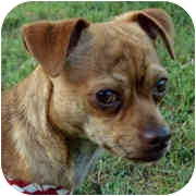 Chihuahua Dog for adoption in Milledgeville, Georgia - Moonshine