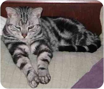 American Shorthair Cat for adoption in Davis, California - Chopper