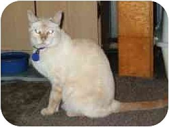 Siamese Cat for adoption in Pasadena, California - Krystle