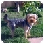 Photo 1 - Yorkie, Yorkshire Terrier Puppy for adoption in Orange, California - Taylor