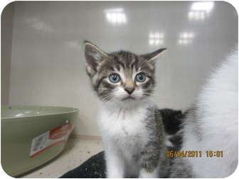 Domestic Shorthair Kitten for adoption in Sterling Hgts, Michigan - Lenny