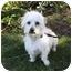 Photo 1 - Westie, West Highland White Terrier/Norfolk Terrier Mix Dog for adoption in Newport Beach, California - HOMER