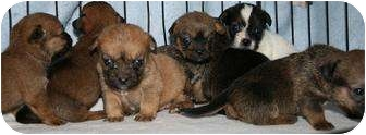 Border Terrier/Pug Mix Puppy for adoption in House Springs, Missouri - PUPPIES!!