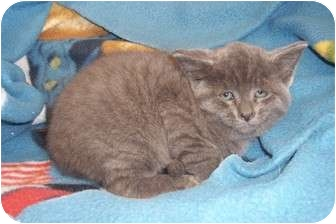 Domestic Shorthair Kitten for adoption in Marshall, Texas - Huckleberry Fin