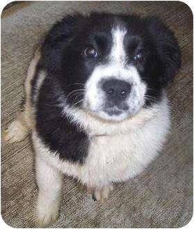 Border Collie Mix Dog for adoption in Mt. Vernon, Illinois - Polly