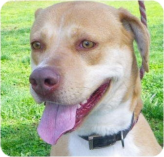 American Pit Bull Terrier/Labrador Retriever Mix Dog for adoption in Metamora, Indiana - Skye