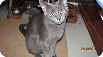 Russian Blue Kitten for adoption in Oxford, Connecticut - Blue