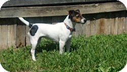 Jack Russell Terrier Dog for adoption in San Antonio, Texas - Snickers in San Antonio
