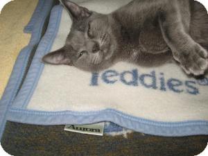 Domestic Shorthair Cat for adoption in Chambersburg, Pennsylvania - Yoda