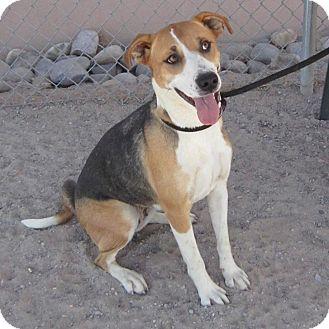 Hound (Unknown Type)/Labrador Retriever Mix Dog for adoption in Rio Rancho, New Mexico - Abby