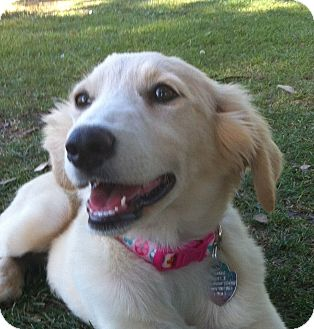 Golden Retriever Puppy for adoption in Irvine, California - LACI
