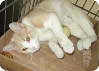 Domestic Shorthair Cat for adoption in Stillwater, Oklahoma - Samantha