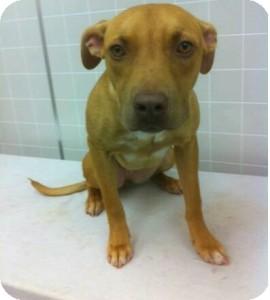 American Pit Bull Terrier/Labrador Retriever Mix Dog for adoption in Sacramento, California - Louise