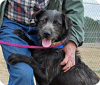 Labrador Retriever/Irish Wolfhound Mix Dog for adoption in Hanover, Pennsylvania - BAXLEY ~ SCRUFFY BOY