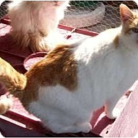 Calico Cat for adoption in Goodland, Kansas - Staches