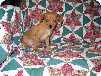 Dachshund/Chihuahua Mix Puppy for adoption in Middleburg, Florida - luna