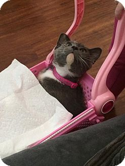 Domestic Shorthair Kitten for adoption in sugar land, Texas - Sophie