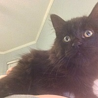 Domestic Mediumhair Cat for adoption in Madisonville, Louisiana - Spy Girl