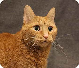 Domestic Shorthair Cat for adoption in Newtown, Connecticut - Chucky Cheese- 4 Paw Declaw