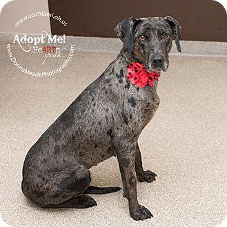 Catahoula Leopard Dog Mix Dog for adoption in Troy, Ohio - Lula