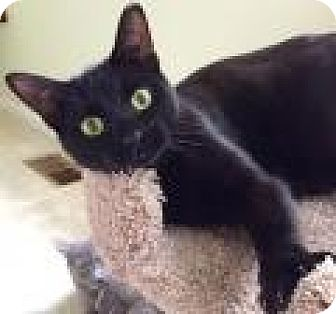Domestic Shorthair Cat for adoption in Livonia, Michigan - Sparky