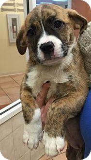 Labrador Retriever/American Bulldog Mix Puppy for adoption in Miami, Florida - Muffy