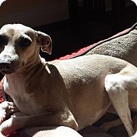Adopt A Pet :: Trudy - SD - Costa Mesa, CA