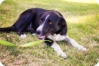 Border Collie Mix Dog for adoption in Corning, California - WILSON
