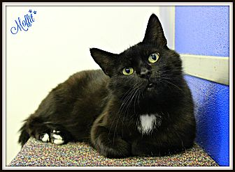 Domestic Mediumhair Cat for adoption in Dunkirk, New York - Moffit