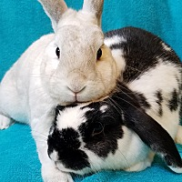 Lop-Eared Mix for adoption in Los Angeles, California - Bella & Barry
