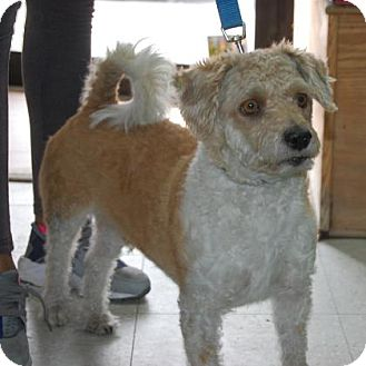 Terrier (Unknown Type, Small) Mix Dog for adoption in Brooklyn, New York - Daniel
