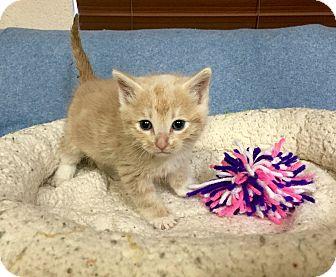 Domestic Shorthair Kitten for adoption in Chino Valley, Arizona - Caera
