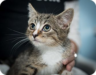 Domestic Shorthair Kitten for adoption in New York, New York - Xavier
